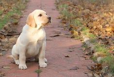 Yellow happy labrador puppy in autumn Stock Photo