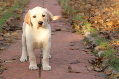 A yellow happy labrador puppy in autumn Stock Images