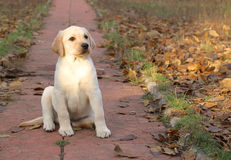 Yellow happy labrador puppy in autumn Royalty Free Stock Photography