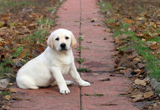 A yellow happy labrador puppy in autumn Royalty Free Stock Image