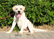 A yellow happy labrador puppy in garden Royalty Free Stock Images