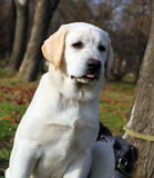 The yellow happy labrador puppy in garden portrait Royalty Free Stock Photography