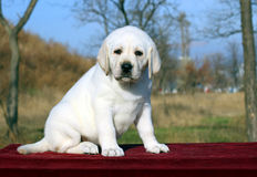 The yellow happy labrador puppy in garden portrait Stock Photography
