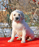 Yellow happy labrador puppy in garden portrait Royalty Free Stock Photography