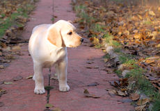 Yellow happy labrador puppy playing in autumn Royalty Free Stock Photos