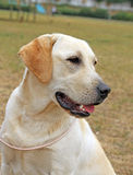 Yellow happy labrador in summer Royalty Free Stock Photo