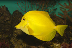 Yellow Hawaiian Tang (Zebrasoma flavescens) Royalty Free Stock Image