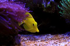 The yellow Hawaiian tang - Zebrasoma flavescens. The yellow tang was first described by English naturalist Edward Turner Bennett as Acanthurus flavescens in 1828 royalty free stock photo