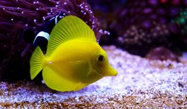 The yellow Hawaiian tang - Zebrasoma flavescens. The yellow tang was first described by English naturalist Edward Turner Bennett as Acanthurus flavescens in 1828 royalty free stock image