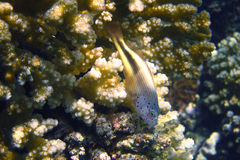 yellow hawkfish on a coral royalty free stock photo