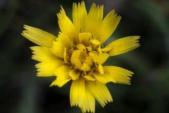 Yellow hawkweed Royalty Free Stock Image