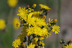 Yellow Hawkweed Stock Image