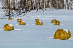Hay bales in a snowy field, cowboy Trail, Alberta, Canada. Yellow hay bales against a white blanket of snow is always a pleasing view Royalty Free Stock Photography