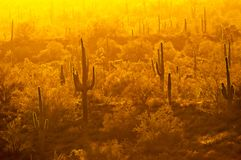 Yellow haze backlights saguaro cactus in the desert. Yellow haze in late day backlights saguaro cactus plants in the Superstition Mountains of Arizona royalty free stock images