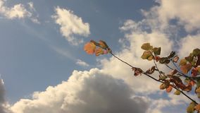 Yellow hazel leaves against and the sky with cumulus clouds. Branbranch of hazel with yellow leaves against the sky with cumulus clouds stock video