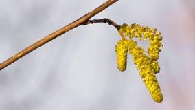Yellow hazelnut flower stock photography