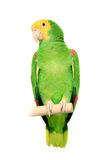 Yellow head Amazon on white Stock Images