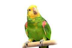 Yellow head Amazon on white Stock Image