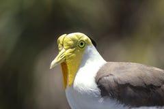 Yellow Head Bird Royalty Free Stock Photo