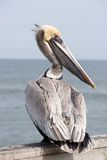 Yellow Head Pelican Royalty Free Stock Image