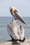 Yellow Head Pelican royalty free stock image