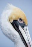 Yellow Head Pelican stock images