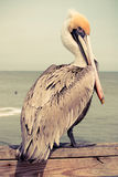 Yellow Head Pelican Stock Photography
