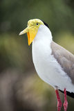 Yellow Head & Red Leg Masked Lapwing Bird Portrait Royalty Free Stock Photos