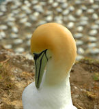Yellow head sea bird close-up Royalty Free Stock Photography
