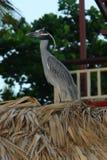 Yellow-headed苍鹭 在秸杆屋顶的生活  免版税库存图片