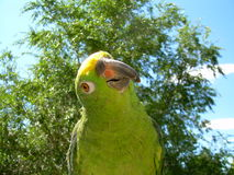 Yellow headed amazon. A yellow headed amazon Stock Images