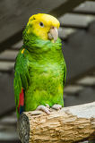 Yellow headed Amazon Royalty Free Stock Photos