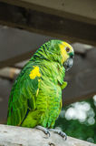 Yellow headed Amazon Royalty Free Stock Images