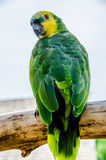 Yellow headed Amazon Royalty Free Stock Image
