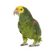Yellow-headed amazon, Amazona oratrix Royalty Free Stock Photo