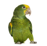 Yellow-headed Amazon (6 months old), isolated. On white royalty free stock images