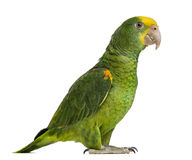 Yellow-headed Amazon (6 months old), isolated Royalty Free Stock Image