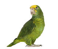 Yellow-headed Amazon (6 months old), isolated Stock Photos