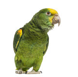 Yellow-headed Amazon (6 months old), isolated. On white royalty free stock photos