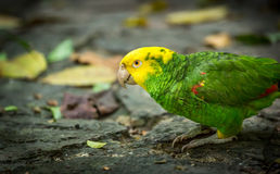 Yellow-headed Amazon Parrot Royalty Free Stock Image