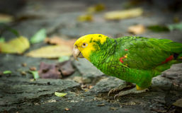 Yellow-headed Amazon Parrot Royalty Free Stock Images