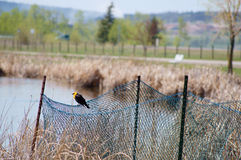 Yellow-headed Blackbird Xanthocephalus xanthocepha Royalty Free Stock Photo