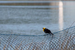 Yellow-headed Blackbird Xanthocephalus xanthocepha Royalty Free Stock Image