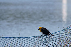 Yellow-headed Blackbird Xanthocephalus xanthocepha Royalty Free Stock Images