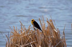 Yellow-headed Blackbird Xanthocephalus xanthocepha Stock Photo