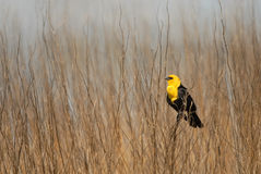 Yellow-headed black bird. A yellow-headed black bird perched among the weeds in a northern Missouri wetland Royalty Free Stock Photos