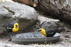 Yellow headed black bird. View of yellow headed black bird Stock Images