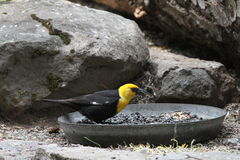 Yellow headed black bird. View of yellow headed black bird Stock Photos
