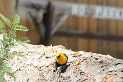 Yellow headed black bird. View of yellow headed black bird Royalty Free Stock Photos