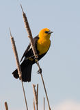 Yellow-headed Blackbird. Photograph of a male Yellow-headed Blackbird perched on a cattail stalk surveying its territory stock photo